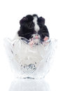 Guinea pig in a vase Stock Image