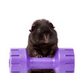 Guinea pig on a weight dumbbell isolated on white this photography shows sitting violet backround Stock Images