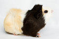 Guinea pig on white background little pet rodent Stock Photography