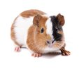 Guinea pig on a white background Royalty Free Stock Photo