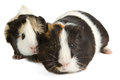 Guinea pig on white little pet rodent background Stock Images