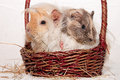 Guinea pigs in a basket two sweet basked Stock Photos