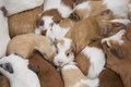 Guinea pigs cavia porcellus ecuador the pig is a domesticated tailless south american cavy originally raised for food it no longer Stock Photo