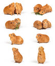 Guinea pigs - compilation Stock Photography