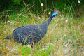 Guineafowl bird a numida meleagris is native to southern africa also known as the helmeted Stock Photo