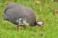 Guineafowl Royalty Free Stock Photo