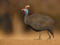 Guineafowl walking on gravel taken at very low angle with out of focus background Stock Photography