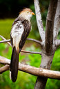 Guira cuckoo bird roosting in tree Stock Photo