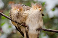 Guira cuckoo birds pair of Royalty Free Stock Images