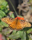 Gulf Fritillary butterfly on orange Zinnia Stock Photography