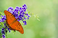 Gulf Fritillary butterfly on purple flowers Royalty Free Stock Photo