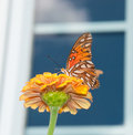 Gulf Fritillary butterfly on Zinnia Stock Images