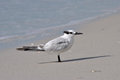 Gull billed tern a resting on the beach in florida Royalty Free Stock Photo
