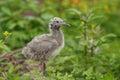 Gull chick. Royalty Free Stock Photo