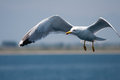 Gull in a flight herring out of focus background freedom ot tourism scene Stock Photo