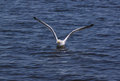 Gull flushing from water herring Stock Photos