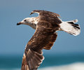 Gull flying Royalty Free Stock Photography