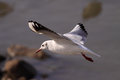 Gull flying beautiful over douro river looking for food Stock Photo