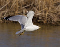 The gull is flying calm Royalty Free Stock Photo