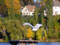 Gull goes in for landing picnic table city of houghton beach front park serves as spot seagull fall foliage colors background Stock Photos