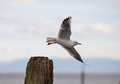 Gull at lake constance in flight Stock Image