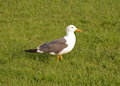 The gull larus fuscus walking on grass Stock Photos