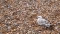 Gull on Pebble Beach