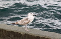 Gull on quay caspian standing Stock Image