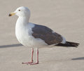 Gull rd year western larus occidentalis on a beach Royalty Free Stock Photo