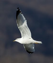 Gull ring billed larus delawarensis in flight Stock Photos