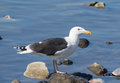 Gull on rocks a the hudson river photo taken in verplanck ny a cold winter day Stock Images