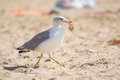 Gull running on the beach with a piece of bun in its beak seagull seaside dragged bread rolls from bag food holidaymakers Stock Photography
