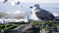 Gull at the sea gulls noth Royalty Free Stock Photo