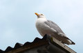 Gull sitting on a corrugated iron roof adult the of shed at the coast Stock Photo