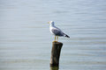 Gull standing on palisade from delta del po italian nature birdwatching Stock Photos