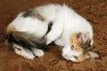 Gullig ung kalikå torbie kitten cat Royaltyfria Foton