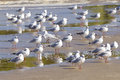 Gulls black headed gull chroicocephalus ridibundus in spain Royalty Free Stock Photo