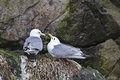 Gulls during breeding in a norwegian rock wall Stock Photo