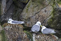 Gulls during breeding in a norwegian rock walln Royalty Free Stock Images