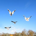 Gulls in flight Royalty Free Stock Photo