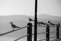 Gulls many on railings in greece Royalty Free Stock Images