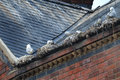 Gulls nesting on building in gutters Stock Photography