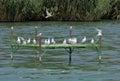Gulls over balaton at tihany Royalty Free Stock Photos