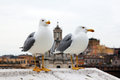 Gulls in rome two sea Stock Photography