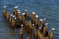 Gulls seagulls sitting on the wooden breakwaters at the sea shore Stock Photography