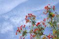 Gulmohar flowers on beautiful clear sky Stock Photo