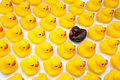 Gum ducks yellow and one black Royalty Free Stock Photo