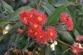Gum nut blossom eucalyptus tree flowers with bees photo taken april Stock Photo