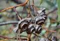 Gum Nuts: King's Park, Western Australia Royalty Free Stock Photo