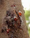 Gum seeping through he bark of a wattle tree Stock Photo